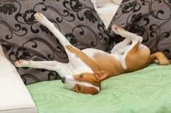 Сute Basenji stretch itself after siesta time Stock Image