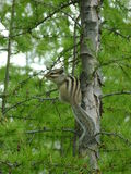 сute chipmunk on tree in the forest. Chipmunk on tree in the forest Royalty Free Stock Photos