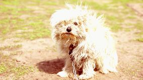 Ute dirty bichon having fun in the chain, the dog in the yard. Guard dog on a chain in the village. stock footage