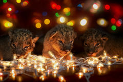 Сute lions cubs Royalty Free Stock Images