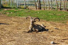 сute look sheep Royalty Free Stock Photo