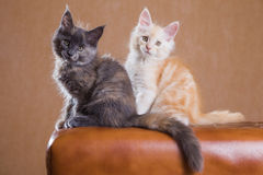 Сute Maine Coon kittens Royalty Free Stock Image