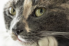 Сute, young three-colored cat, in the green eye of which the ph Stock Photos