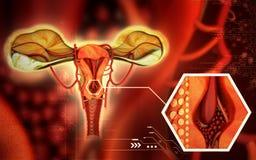 uterus бесплатная иллюстрация