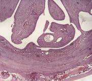 Uterus. Mammalian uterus, low power microscopic 40X Royalty Free Stock Photos