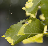 Uterus ant. Is staying on the overleaf of spring green leaf mulberry on backlit sunlight Stock Photography