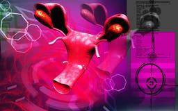 uterus overies иллюстрация штока