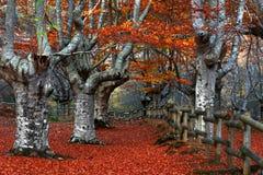 Utfärda utegångsförbud för bokträdskog Royaltyfri Fotografi