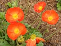 Utformar blom- bakgrund för blomman Garden Arkivfoton