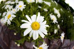 Utformar blom- bakgrund för blomman Garden Arkivbilder