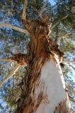 utgjuta den högväxt treen Arkivbild