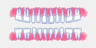 utgjutelsen för utbrott för anatomibarn visar den tand- tandtidtitlar Royaltyfri Foto