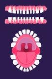 utgjutelsen för utbrott för anatomibarn visar den tand- tandtidtitlar Royaltyfri Fotografi