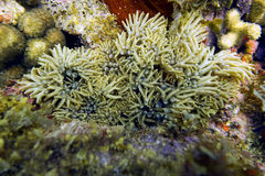 Utgreninganemon i en Coral Reef (den Lebrunia danaen) Royaltyfri Bild