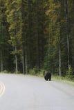 Uthärda att gå på sidan av vägen i Banff Royaltyfri Bild