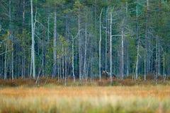 Uthärda gömt i gult sörjer och trä för björkskoghöst med björnen Härlig brunbjörn som går runt om sjön med höstfärger arkivbilder
