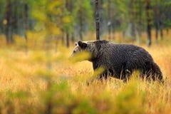 Uthärda gömt i orange röda skoghöstträd med björnen Den härliga brunbjörnen som går runt om sjön med nedgången, färgar Farlig royaltyfria foton