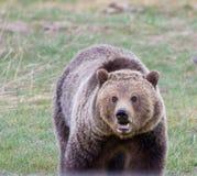 uthärda grizzlyen Royaltyfri Bild