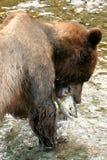 uthärda grizzlyen Fotografering för Bildbyråer
