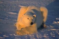 uthärda polart arkivfoton