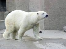 uthärda polart Fotografering för Bildbyråer