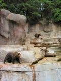 uthärdar grizzlyen Royaltyfria Bilder