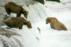 uthärdar grizzlyen Arkivbild
