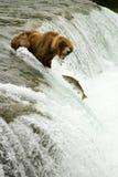 uthärdar grizzlyen Arkivbilder