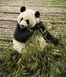 uthärdar jätte- pandas Royaltyfria Foton