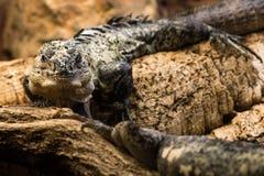 Utila多刺盯梢了鬣鳞蜥& x28; Ctenosaura bakeri& x29;男性 库存图片