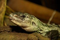 Utila coperto di spine-ha munito l'iguana di coda in primo piano sul ceppo Fotografia Stock