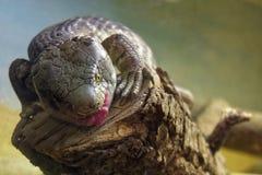 Utila Espinoso-Ató la iguana Fotos de archivo libres de regalías