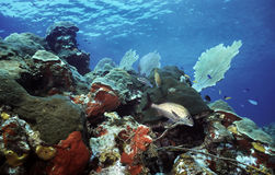 Utila shallow reef Royalty Free Stock Photo