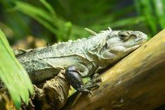 Utila spiny tailed Iguana Royalty Free Stock Image