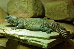 Utila Spiny-Tailed Iguana Stock Photography