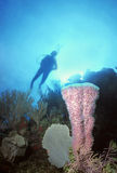 Utila Vase Sponge. Colorful shallow coral bommie featuring a purple vase sponge and sea fan, Utila,Bay Islands Stock Photography