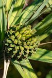 Utilis do Pandanus ou planta do screwpine com crescimento de frutos em garde, origem Madagáscar fotos de stock