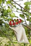 Utilisant le bâton de cueillette de fruit dans le champ de pommiers, fermez-vous  Image libre de droits