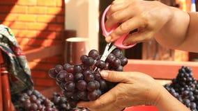 Utilisation de femme ciseaux roses pour équilibrer les raisins gâtés outre du groupe banque de vidéos