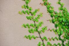 Utilisation verte d'île de lierre le fond d'image Image libre de droits