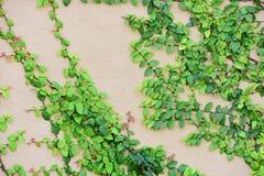 Utilisation verte d'île de lierre le fond d'image Images stock