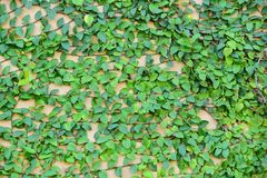 Utilisation verte d'île de lierre le fond d'image Photos libres de droits