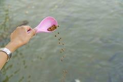 Utilisez une cuillère rose pour alimenter les poissons image libre de droits