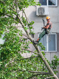 Utilitary alpinist tree cleaner at work Royalty Free Stock Images