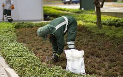 Utility worker gardener of municipality sowing plants and planting seeds stock image