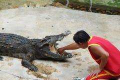 Utkant av den Bangkok staden thailand Farlig show med asiatiska krokodiler arkivfoto