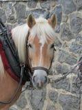 Utkasthäst som är klar att dra Arkivfoto