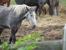Utkasthäst som äter hö Arkivbilder