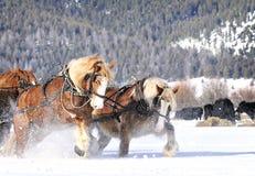 Utkasthästar som arbetar hårt att dra i snö arkivfoto