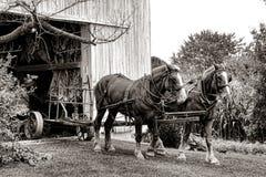 Utkasthästar som drar lantgårdvagnen ut ur den Amish ladugården Arkivbild